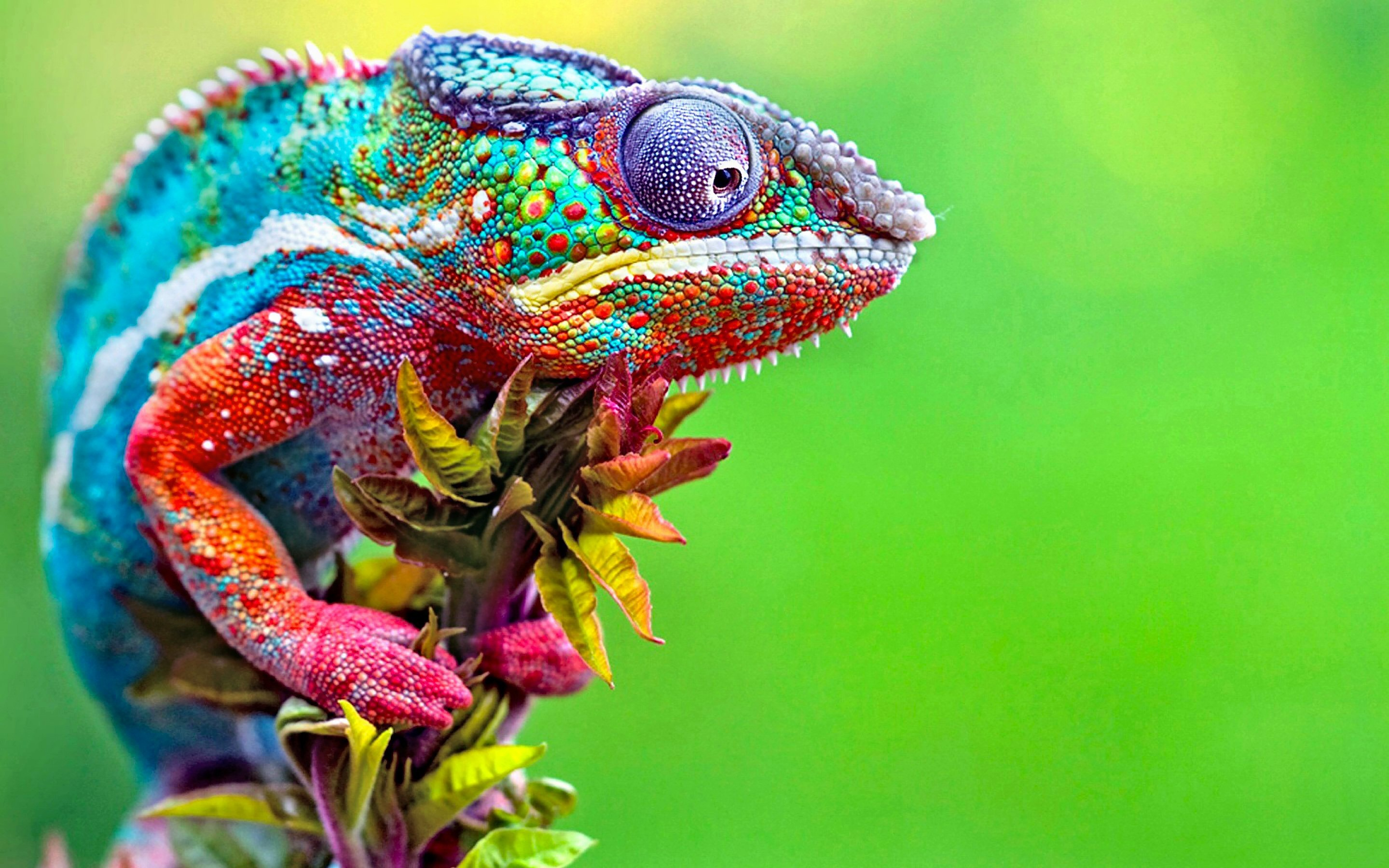 Wildes farbenfrohes Kameleon.© 2020 Graphics Illuminate/Shutterstock