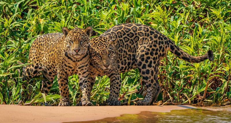 Zwei Jaguare in Poconé, Mato Grosso, Brasilien. © Jorge André Diehl / WWF-Brazil